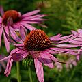 Eastern Purple Coneflower by Jouko Lehto