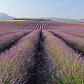 English Lavender Field, Valensole, Valensole Plateau, Alpes-de-haute-provence, Provence-alpes-cote D Azur, France by Martin Ruegner