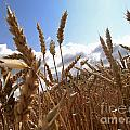 Field Of Wheat by Bernard Jaubert