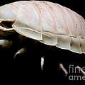 Giant Marine Isopod by Dant� Fenolio