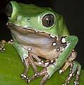 Giant Monkey Frog by Dante Fenolio