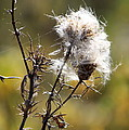 Going To Seed by Rick Rauzi