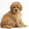 Goldendoodle Puppy by Mark Taylor