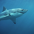 Great White Shark Carcharodon by Mike Parry