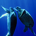 Green Turtles Mating by Matthew Oldfield