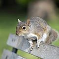 Grey Squirrel by Georgette Douwma