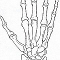 Hand And Wrist Bones by Science Source