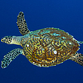 Hawksbill Sea Turtle, Kimbe Bay, Papua by Steve Jones