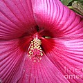 Hibiscus Named Luna Rose by J McCombie