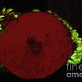 Luminescent Mushroom Panellus Stipticus by Ted Kinsman