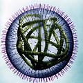 Measles Virus by Omikron
