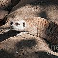 Meerkat by Carol Ailles