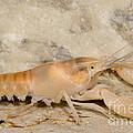 Miami Cave Crayfish by Dante Fenolio