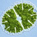 Microsterias Green Alga, Light Micrograph by Frank Fox