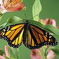 Monarch Butterfly by David Aubrey