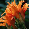 Orange Daylily by Mel Hensley