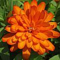 Orange Flower by Michele Caporaso