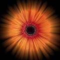 Orange Gerbera Daisy On Black by Zoe Ferrie