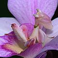 Orchid Mantis Hymenopus Coronatus by Thomas Marent