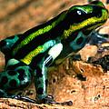 Pasco Poison Frog by Dant� Fenolio