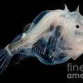 Phantom Anglerfish by Dante Fenolio