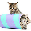 Playful Kittens by Mark Taylor