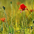 Poppies by Guido Montanes Castillo