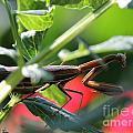 Praying Mantis by J McCombie