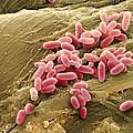 Pseudomonas Aeruginosa Bacteria, Sem by Steve Gschmeissner
