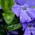 Raindrops On Sorcerers Violet by Thomas R Fletcher