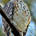Red Shouldered Hawk by David  Brown