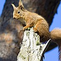 Red Squirrel by Duncan Shaw