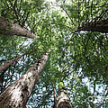 Redwoods Sequoia Sempervirens by Ted Kinsman
