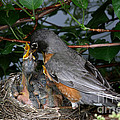 Robin Feeding Its Young by Ted Kinsman