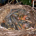 Robin Nestlings by Ted Kinsman