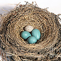 Robins Nest And Cowbird Egg by Ted Kinsman