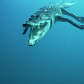 Saltwater Crocodile Crocodylus Porosus by Mike Parry