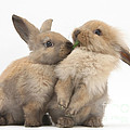 Sandy Rabbits Sharing Grass by Mark Taylor