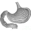 Stomach by Science Source