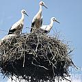 3 Storks In The Nest. Lithuania by Ausra Huntington nee Paulauskaite