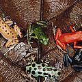 Strawberry Poison Dart Frog Dendrobates by Mark Moffett