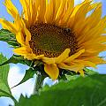Sunflower by Michael Goyberg