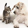 Tabby Kitten & Great Dane Pup by Mark Taylor