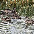 Teal Ducks by Lori Tordsen