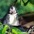 Thomas's Leaf Monkey by MotHaiBaPhoto Prints