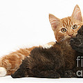 Toy Poodle Puppy With Kitten by Mark Taylor