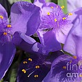 Tradescantia Named Andersonia Mauve by J McCombie