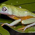 Tree Frog by Dante Fenolio