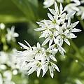 Wild Garlic (allium Ursinum) by Adrian Bicker