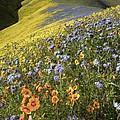 Wildflowers, California by Bob Gibbons